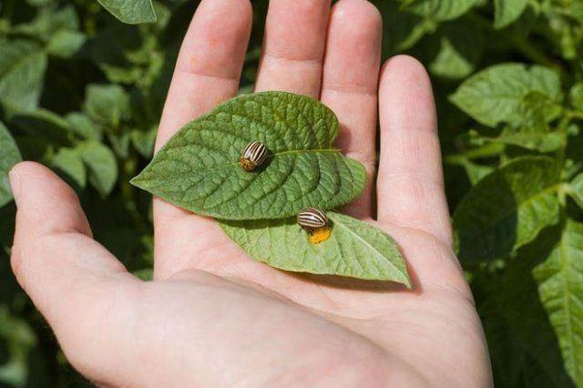 Российский картофель не боится колорадского жука