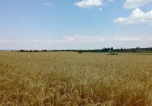 Пшеничное поле под Симферополем. Фото: jalita.com